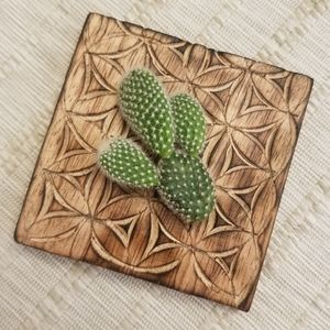 LIVE CACTUS | Angel Wing Bunny Ear Cactus Cutting